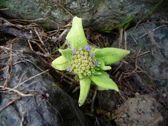 kashmir  wild flowers